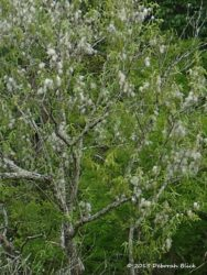 Groundsel tree (Baccharis halimifolia) or commonly called just Baccharis