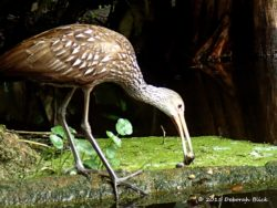 A Limpkin (Aramus guarauna) eating a snail