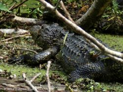 A big ol' gator snoozing in the weeds - 8-9 feet and very well-fed