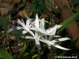 Swamp lily or String Lily (Crinum americanum)