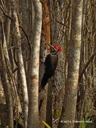 Pileated Woodpecker (Hylatomus pileatus) on Bear Creek.