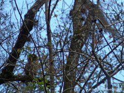 Great Horned Owl (Bubo virginianus ) - peeking at us.