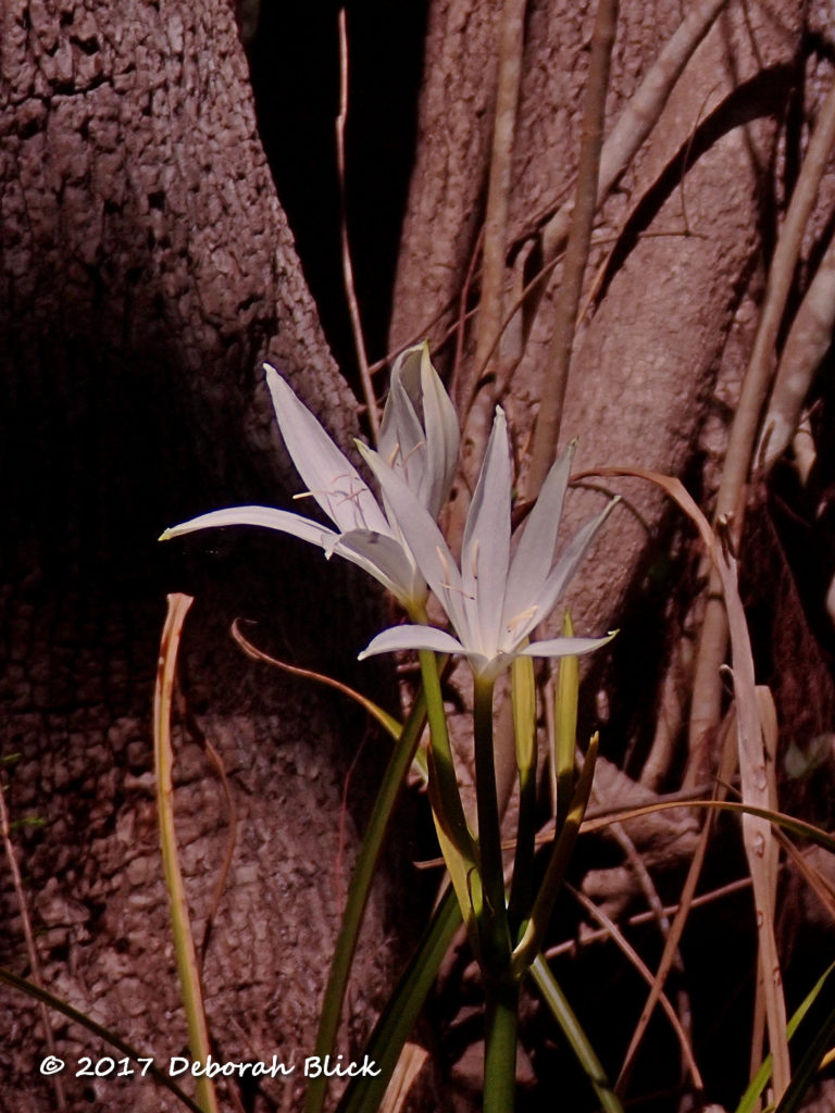 String Lily or Swamp Lily (Crinum americanum)
