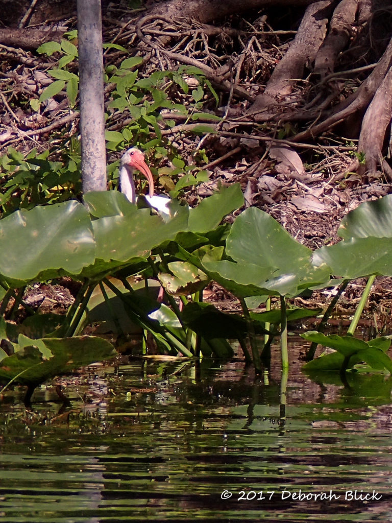 A curious White Ibis (Eudocimus albus ) peeking out at us from behind the foliage