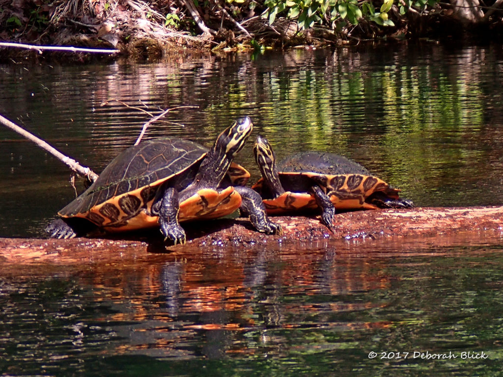 A couple of Cooters (Pseudemys spp) sunning on a log