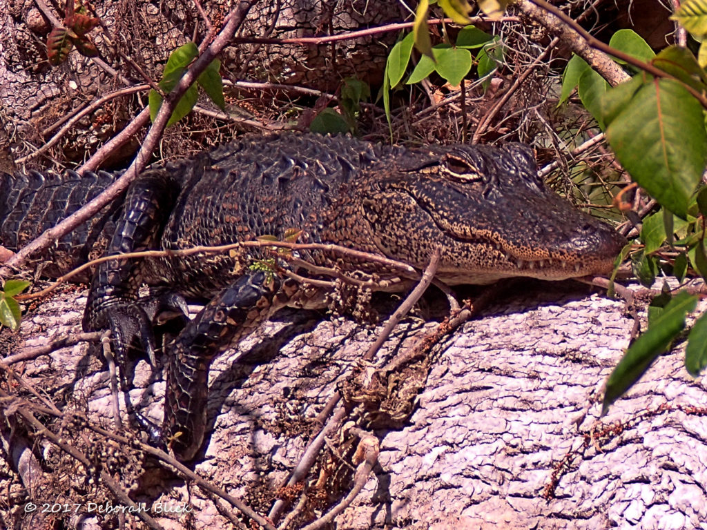 A beautiful young gator still with his juvenile stripes (about 3 feet long)