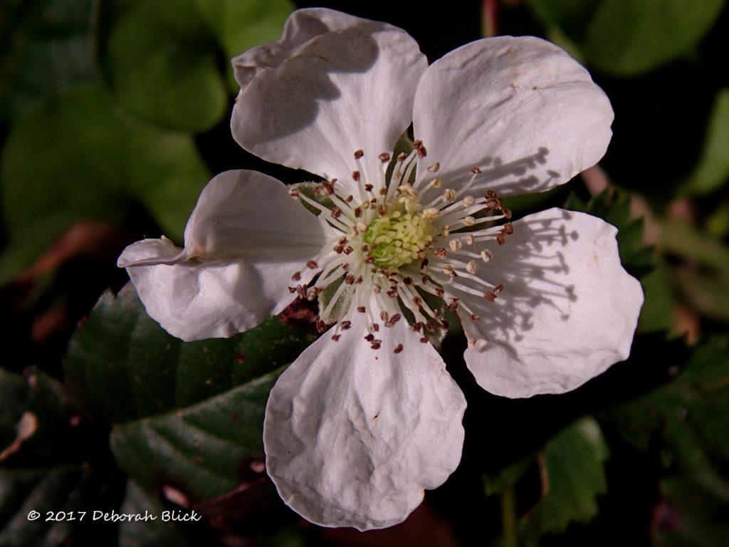 Blackberry blossom (Rubus spp.)