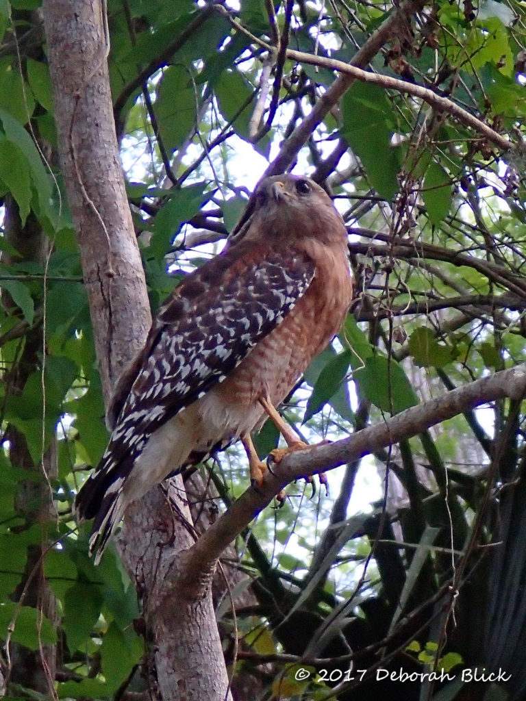 Close encounter with a Red-shouldered Hawk (Buteo lineatus)
