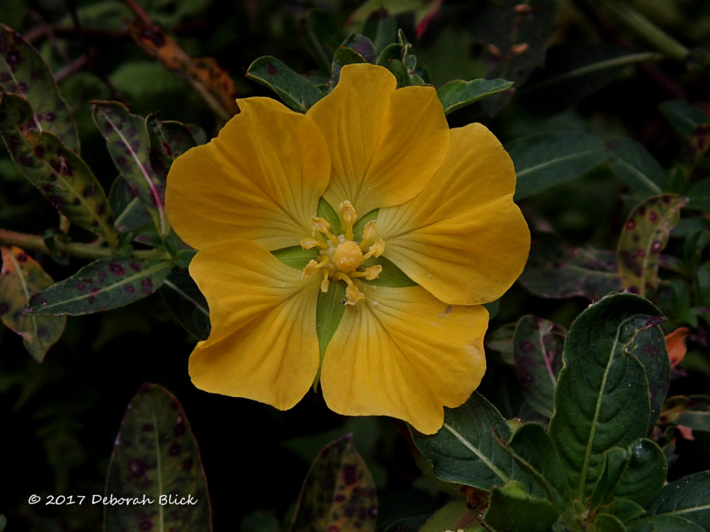 Water Primrose (Ludwigia spp.) - an exotic invasive, but still very pretty