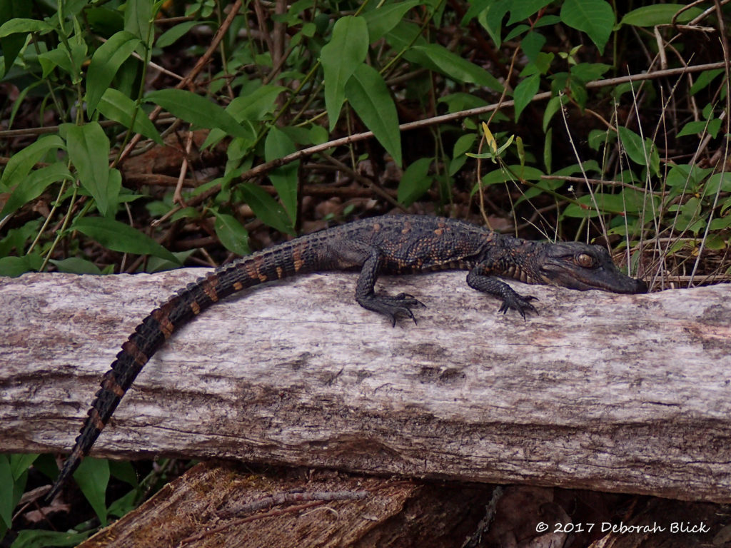 A little bitty gator - about 8 inches long.