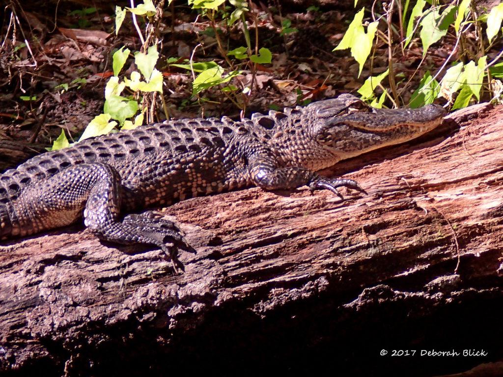 A little gator - about 4.5 feet