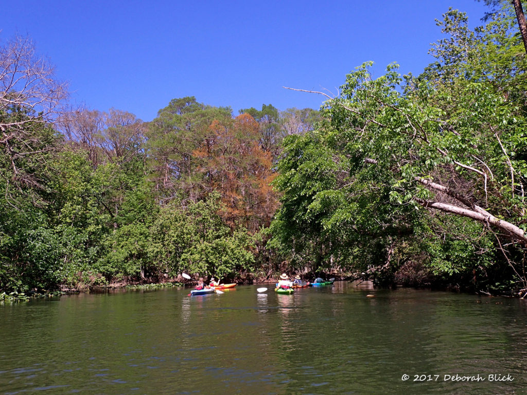 The Ocklawaha with spring foliage under a bright blue sky