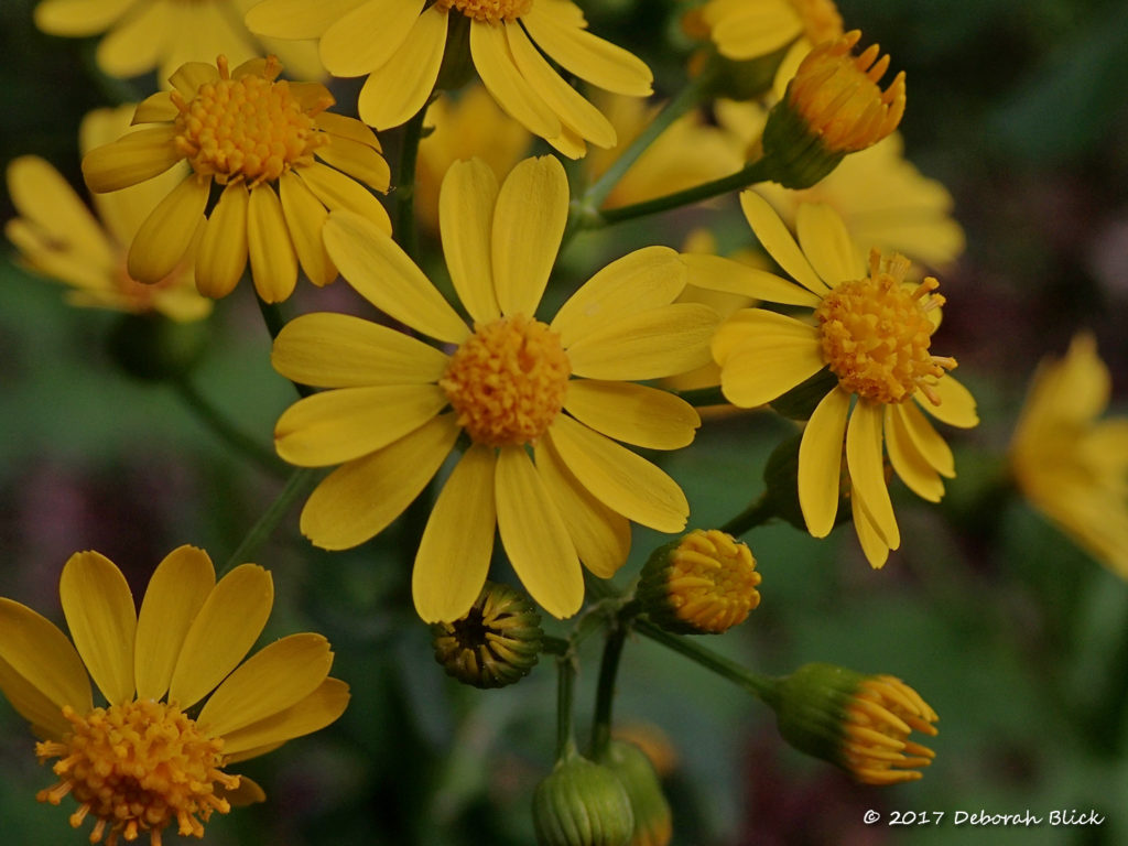 I think these are Maryland Golden Aster (Chrysopsis mariana)