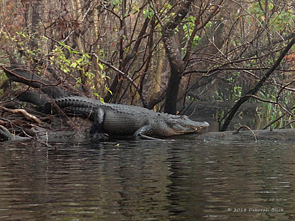 HUGE (and very well-fed) gator