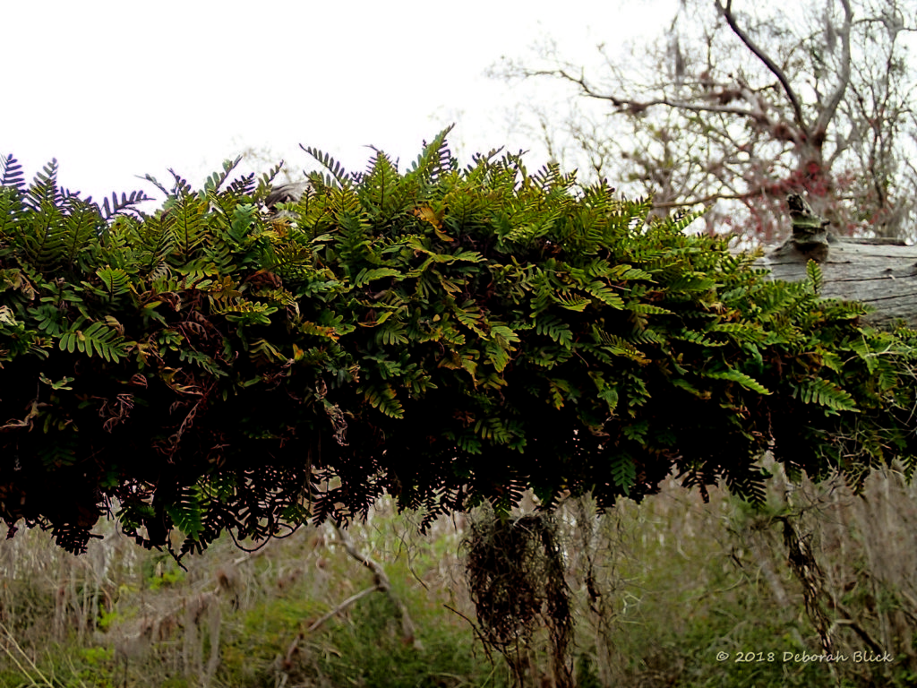 Resurrection Fern on overhanging tree