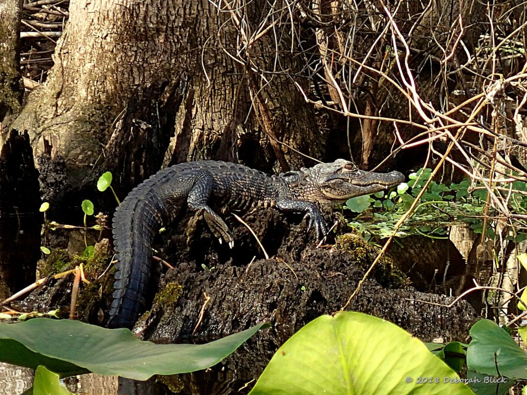 A small gator sunning