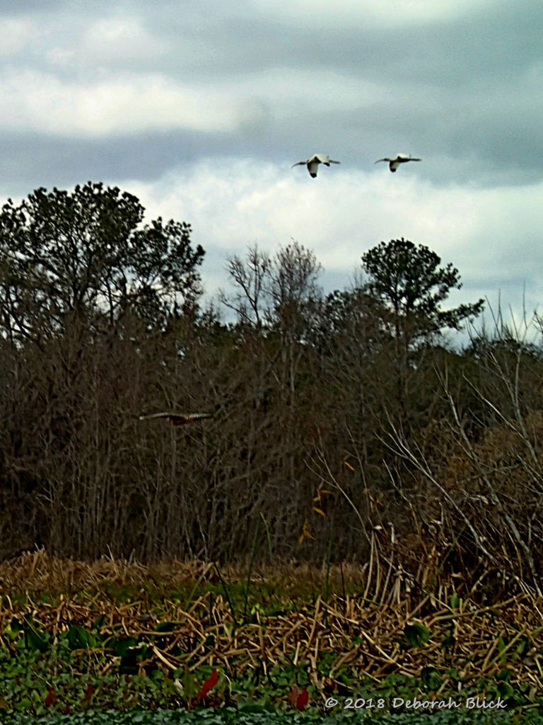 Red-shouldered Hawk and white ibis in flight