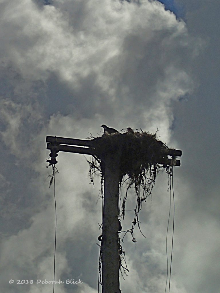 Osprey nest-building