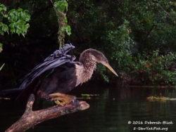 A very wet female Anhinga (Anhinga anhinga) trying to dry her wings,