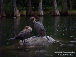 A pair of Double-crested Cormorants hunkered down in the rain.