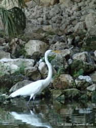 Great Egret at Dunnellon boat ramp