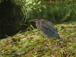 Green Heron (Butorides virescens). Saw several Green Herons today, which I had not seen on the Rainbow before.