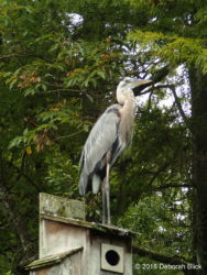 Great Blue Heron (Ardea herodias) on a Wood Duck box.