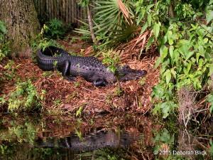 Rainbow River, alligator