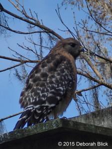 Rainbow River, Red-shoulder Hawk