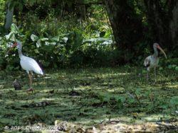 Immature American White Ibis