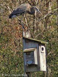 Great Blue Heron on Wood duck box