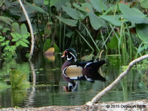Rainbow River, Wood Duck