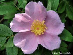 Swamp Rose (Rosa palustris) found along Gissy Spring run