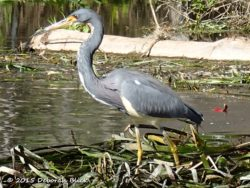 Tri-color Heron (Egretta tricolor)