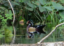 Male Wood Duck (Aix sponsa)
