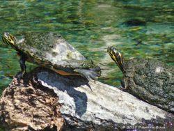Turtles at Rain Springs head spring