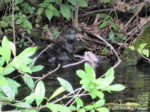 River Otter, Lontra canadensis, Rainbow River
