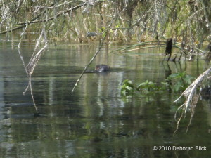 River otter, Rainbow River