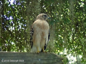 Red-shouldered Hawk, Rainbow River