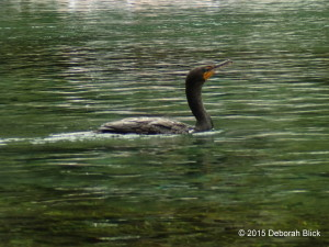 Double-crested Cormorant, Rainbow River