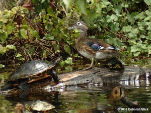 Wood Duck, Rainbow River