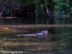One of two North American River Otters (Lontra canadensis). The two adults were swimming and fishing together.