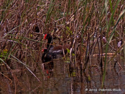 Common Gallinule (Gallinula galeata) with one of her two fluffy babies.