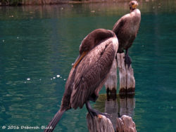Double-crested Cormorant (Phalacrocorax auritus) taking a snooze