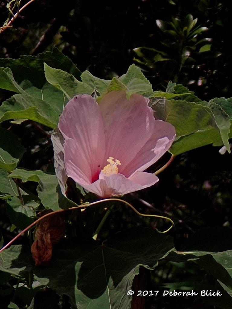 Pink Swamp Hibiscus (Hibiscus grandiflorus)