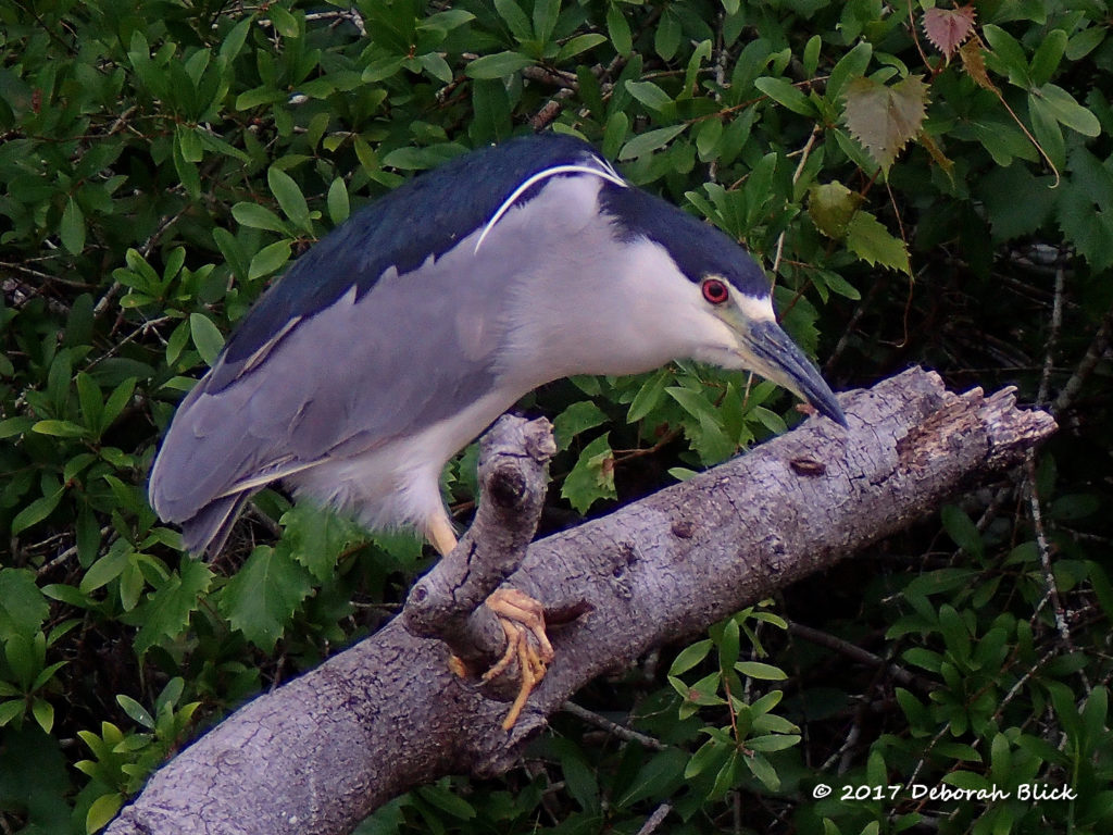 Black-crowned Night Heron (Nycticorax nycticorax)