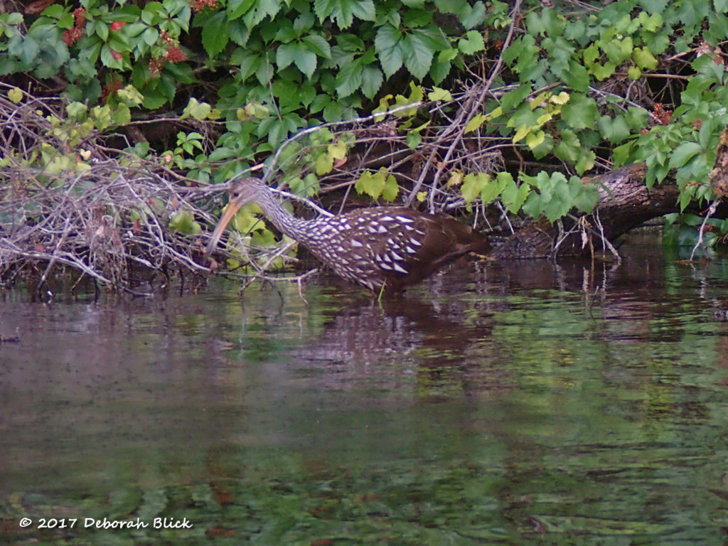 Limpkin (Aramus guarauna) feeding along the river.