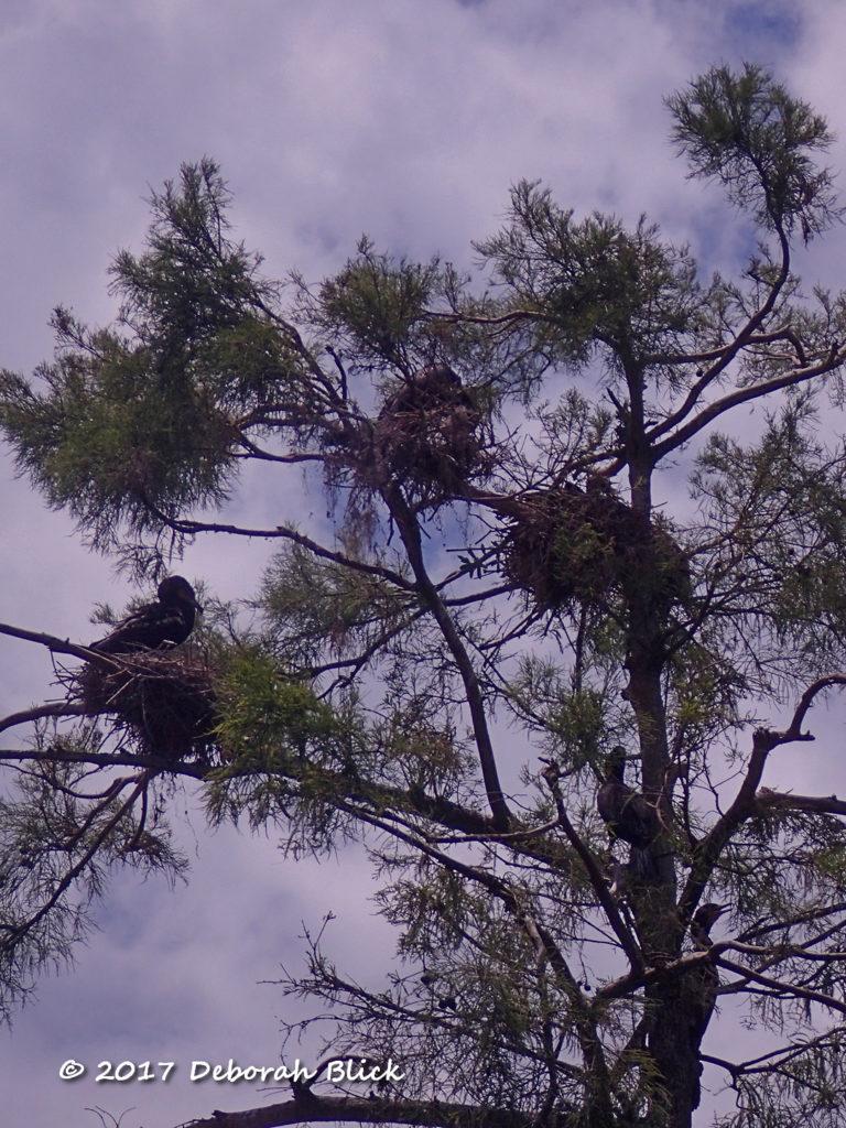 Cormorant nesting tree