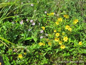 Smooth Bur-marigold