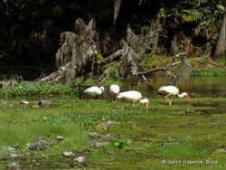 A Little Blue Heron stalking in a congregation of American White Ibis